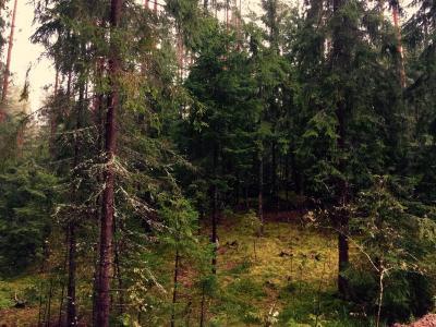 森林,松树