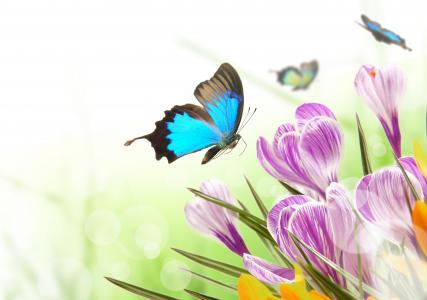 蝴蝶,番红花,春天,背景,白色