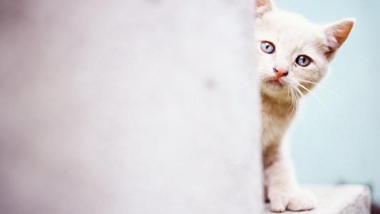 猫,墙上,从角落里查看