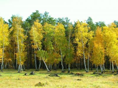秋天,性质,森林,沼地,沼泽,桦木