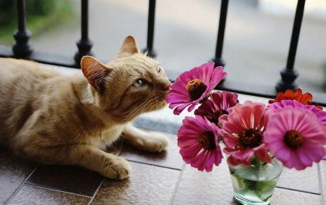 猫,花,嗅,非洲菊,粉红色