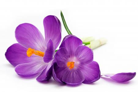 番红花,紫罗兰色,白色,背景