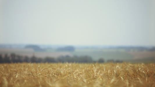 小麦,场,性质,模糊,耳朵
