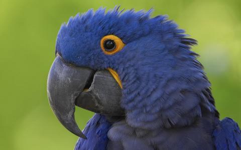 鹦鹉,蓝色,喙