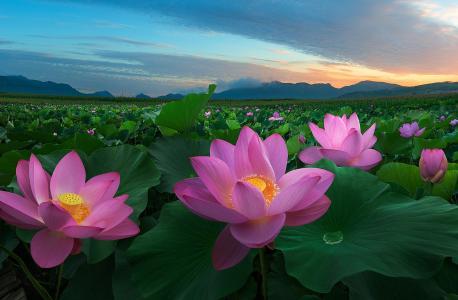 花,莲花,日出,中国