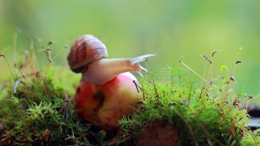 蜗牛,苹果,宏