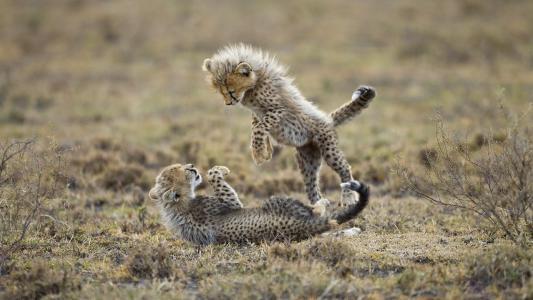 崽,猎豹,动物