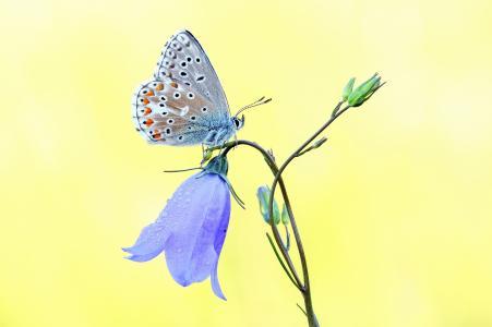 钟,花,紫罗兰,蝴蝶,宏