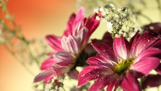 滴,水,红色,非洲菊,鲜花