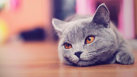 猫,灰色,休息