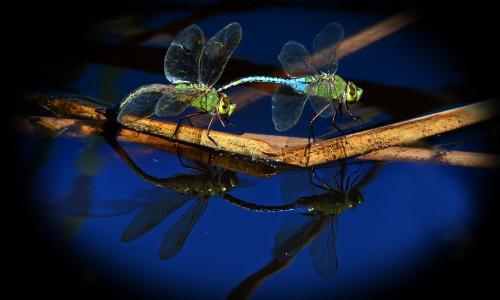 蜻蜓,宏,昆虫,背景,秸秆,树枝,池塘,蒸汽,反射