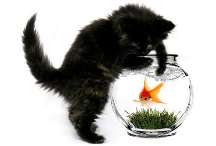 猫,小猫,金,猫,水族馆,鱼