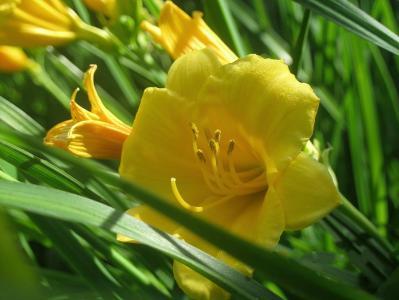 鲜花,黄花菜,黄色,夏天,花园