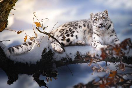 泰国Phung,动物,捕食者,豹,雪豹,性质,冬天,雪,分支机构