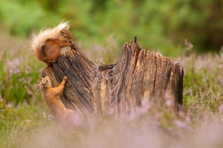 詹姆斯·摩尔,大自然,动物,啮齿动物,松鼠,树桩