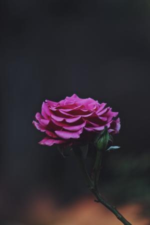美丽高贵的月季花