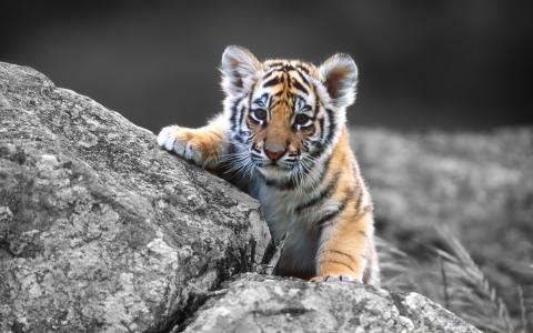 在石头,猫,婴孩,老虎