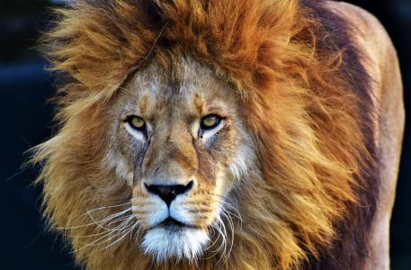 狮子,枪口,宏
