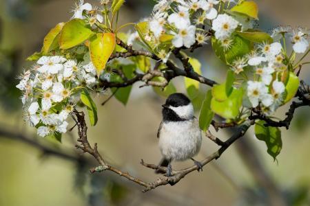 Karolinskaya gaichka,小鸟,鸟,鸟,分支机构,开花,鲜花