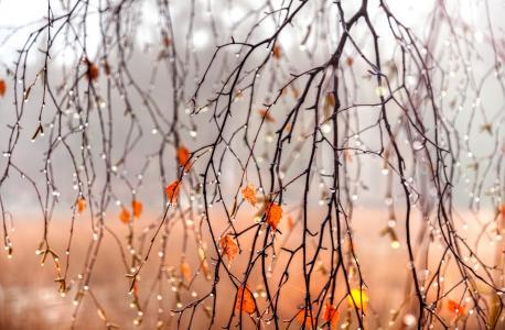 Gordeev爱德华,性质,秋天,树枝,树叶,桦木,滴,水,雨