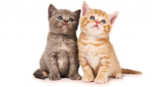 猫,双胞胎