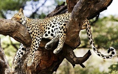 老虎,睡觉,树