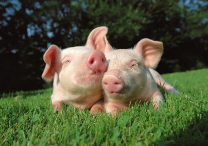 动物,猪,幼儿,两个,在草地上
