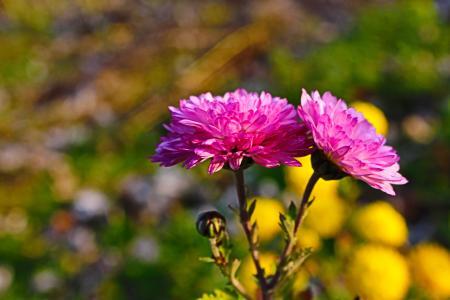 花,菊花,秋天。
