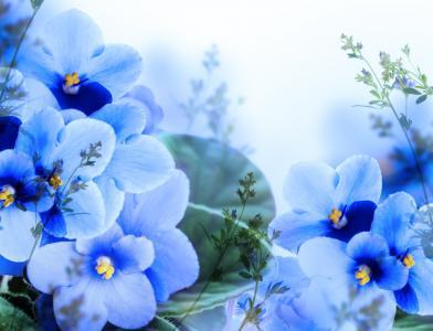 紫罗兰,蓝色,鲜花
