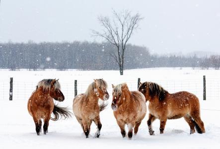 马,马,动物,围栏,自然,雪,冬天,雪花