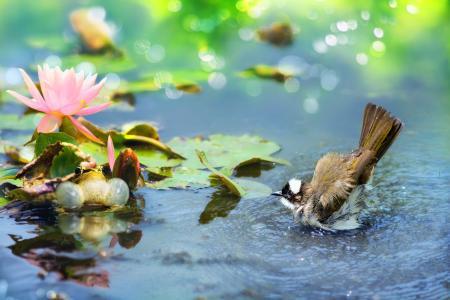 陈逸夫,热带,鸟,世界鸟类,水,池塘,青蛙,叶子,花,莲花,散景
