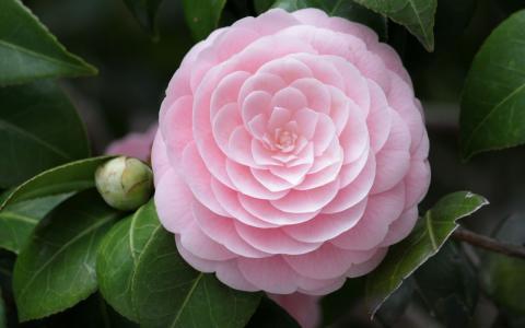 粉红色,花,宏,山茶花