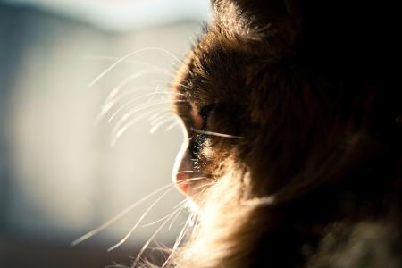 猫,窗口,太阳,蓬松,睡觉,胡子
