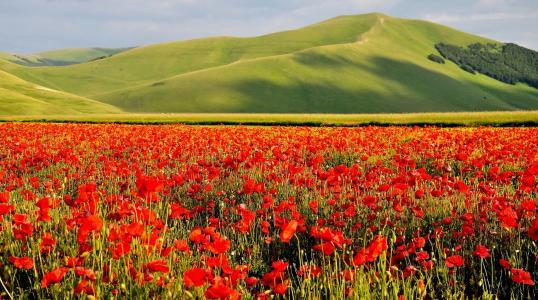 绿色,鲜花,田地,罂粟,美女,天空
