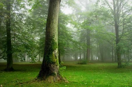 密集,密集,森林,树木,路径,美丽,夏天,绿色,雾