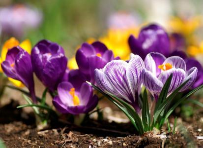 番红花,鲜花,春天,床
