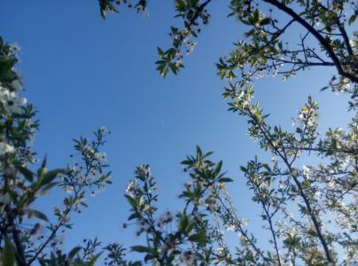 天空,春天,鲜花,盛开,月亮,蓝色
