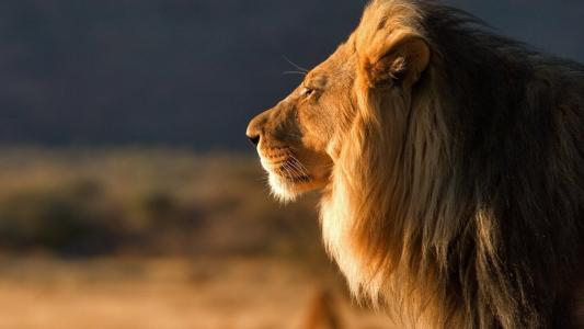 狮子座,动物,萨凡纳
