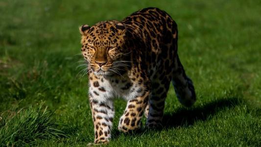 动物,豹子