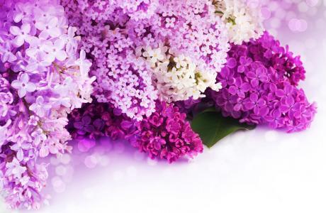 鲜花,白,散景,花瓣,丁香,紫色