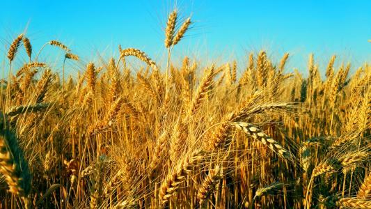 Україна,пшениця,поле,небо,Чернівці