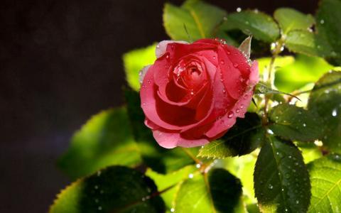 玫瑰,滴,鲜花