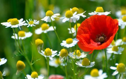 鲜花,罂粟,田地,洋甘菊