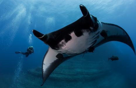 海洋,深渊,黄貂鱼,蝠,,潜水员,光,气泡