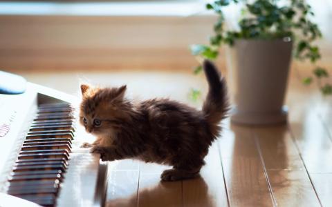 小猫,学习弹钢琴