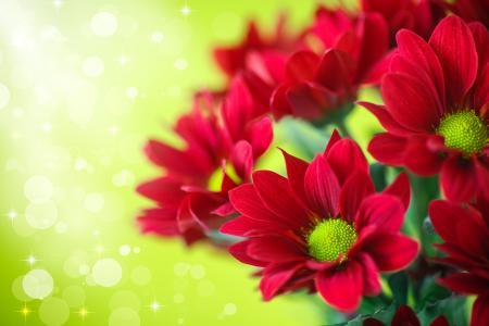 菊花,红色,鲜花