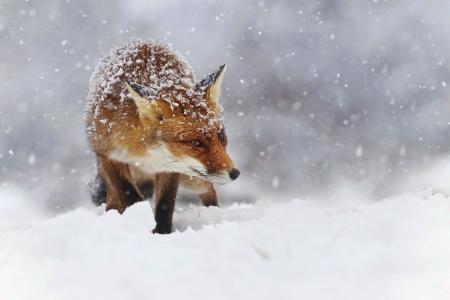 动物,狐狸,狐狸,冬天,雪