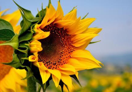 向日葵,花,黄色,原野,夏天,性质