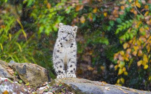 雪豹,小猫,雪,雪豹