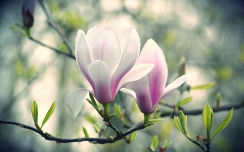 鲜花,颜色,玉兰,树,分支机构,宏